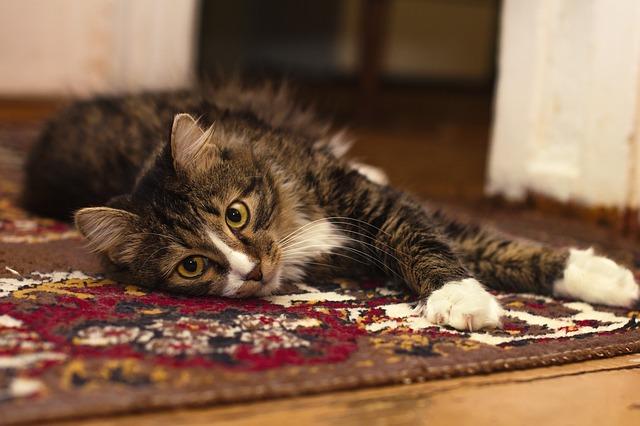 Kočka na koberci