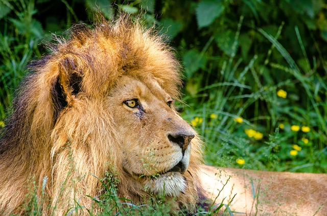 Lev africký.jpg