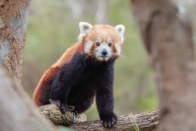 Panda červená.jpg
