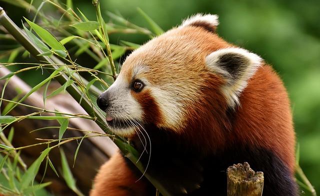 červená panda.jpg